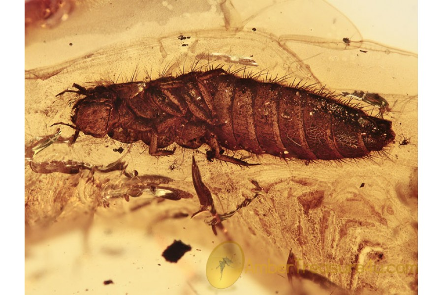 AQUATIC Scirtidae Larvae in BALTIC AMBER 1186