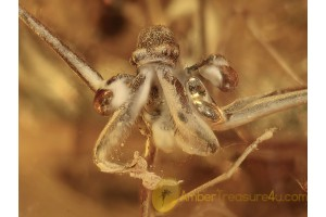 Assassin spider archaeidae