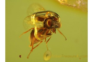 CHALCID WASP with WATER in AIR BUBBLE in BALTIC AMBER