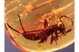 DERMAPTERA Superb Looking EARWIG in BALTIC AMBER 985