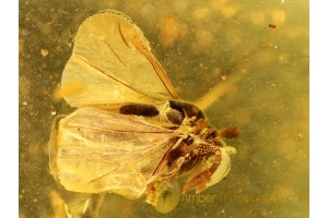 Great STREPSIPTERA Twisted-Winged Parasite in BALTIC AMBER 267