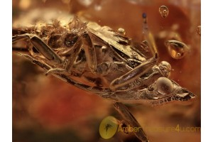 Huge PLANTHOPPER w Very Long Proboscis BALTIC AMBER 1204