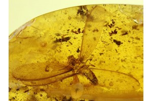 ISOPTERA Spread Wings Large TERMITE Genuine BALTIC AMBER 109