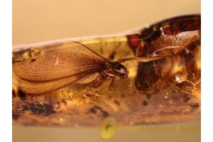 ISOPTERA Spread Wings TERMITE in BALTIC AMBER 876