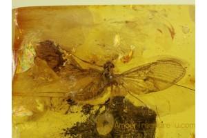 Large Spread Wings MAYFLY Ephemeroptera in BALTIC AMBER 11