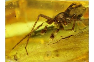 MAMMALIAN HAIR strand & Large SPIDER in BALTIC AMBER