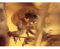 MUTUALISM Ant Carries APHID in BALTIC AMBER 1224