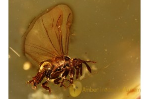 Myrmecolacidae Superb STREPSIPTERA & + in BALTIC AMBER 963