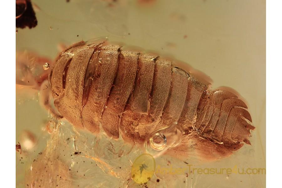 ONISCIDAE Isopod Woodlouse in BALTIC AMBER 1179