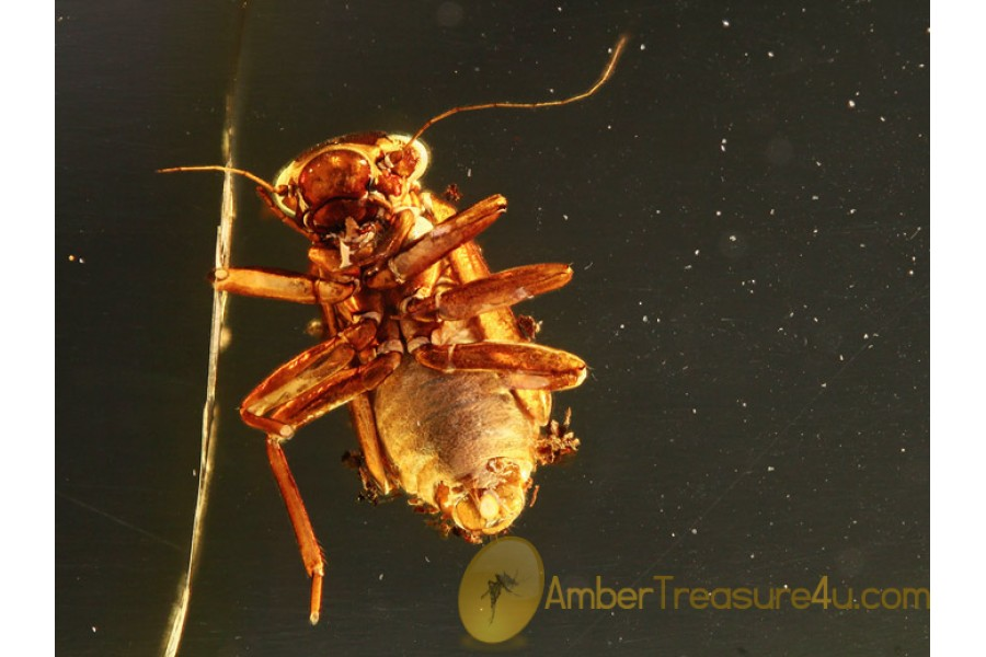 PSOCOPTERA Great Booklice in BALTIC AMBER 772