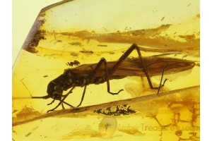 Plecoptera Great Looking STONEFLY in BALTIC AMBER 199