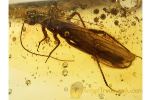 Plecoptera Nice STONEFLY in Genuine BALTIC AMBER 686