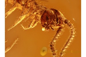 Stone CENTIPEDE LITHOBIIDAE & SPIDER in BALTIC AMBER 973