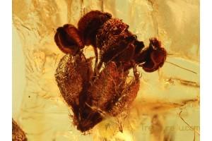 Superb OAK FLOWER & More in BALTIC AMBER 775