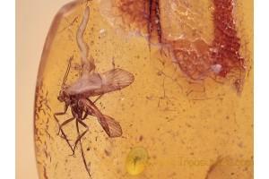 UNIQUE Parasitism CADDISFLY & NEMATODA BALTIC AMBER 1143