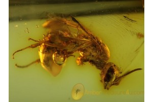 ICHNEUMON WASP Inclusion Genuine BALTIC AMBER